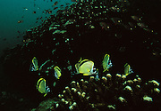 "Butterfly fish swim over the coral in the beautiful waters surrounding Coiba Island, Panama. The former penal colony is now  a ""permit only"" area to visit and explore. In 2005 it became a UNESCO World Heritage Site due to its remarkable proliferance of rare corals and abundance of marine life."