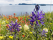 "A blue Indian Camas (Camassia quamash) flower blooms on Vendovi Island, Skagit County, Washington, USA. The Indian Camas (or Indian hyacinth or Wild hyacinth, Camassia quamash) is native to western North America and blooms in various shades of blue. DNA and biochemical studies by  the Angiosperm Phylogeny Group have reassigned Camassia from the Lily family to the family Asparagaceae, subfamily Agavoideae. The scientific species name ""quamash"" is from a Nez Perce term for the plant's bulb, which was gathered and used as a food source by tribes in the Pacific Northwest. On the San Juan Islands, native tribes burned forest to maintain sunny fields for growing this plant. The red flower is Castilleja, commonly known as Indian paintbrush or Prairie-fire, a genus of about 200 species of annual and perennial herbaceous plants native to the west of the Americas from Alaska south to the Andes, plus northeast Asia. Vendovi Island was named after a Fijian High Chief Ro Veidovi who was brought to North America by the 1841 Wilkes Expedition. The San Juan Preservation Trust, a land trust for conservation in the San Juan Islands, purchased the island in December 2010 from the family of John Fluke Sr. Vendovi Island lies across Samish Bay from mainland Skagit County, between Guemes Island and Lummi Island, in the Salish Sea."