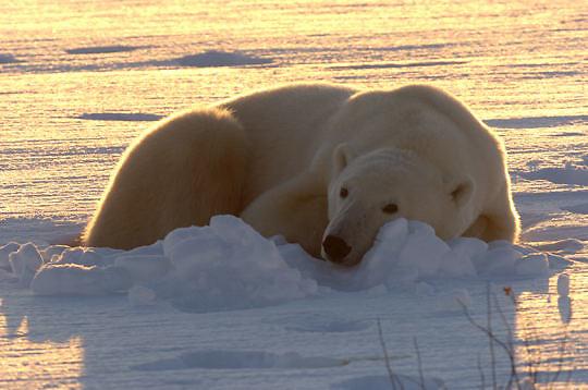 Polar Bear (Ursus maritimus) Adult resting near Cape Churchill, Manitoba along the frozen Hudson Bay. Canada. Winter.
