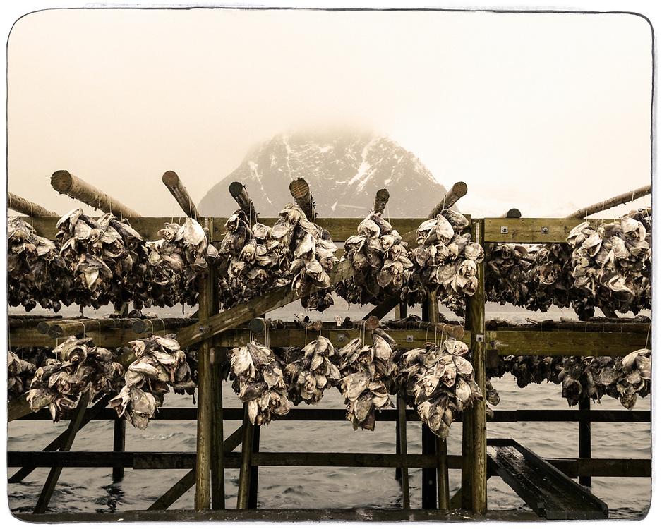 Drying cod heads, Lofoten, Norway