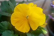 Yellow Pansy, Close up