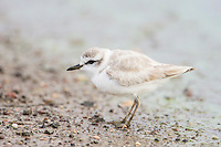 White-Fronted Plover, De Hoop Nature Reserve, Western Cape, South Africa