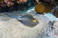 Bluespotted ribbontail ray-Raie pastenague à points bleus (Taeniura lymma) of Red Sea, Sudan.