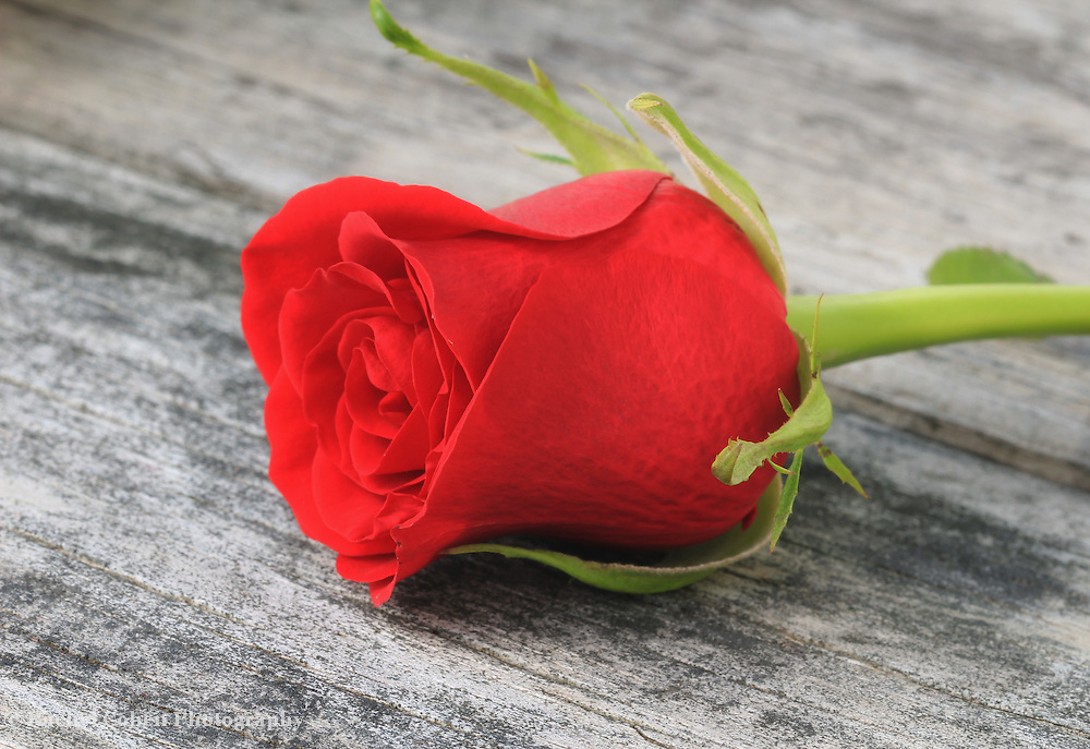 &quot;Single Red Rose&quot;<br />
