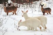Albino whitetail deer doe and fawn in winter habitat