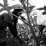 Woman harvesting okra pods in Ghana, West Africa.