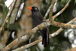 Black Laughingthrush, Garrulax lugubris, The Gap, Malaysia, by Adam Riley
