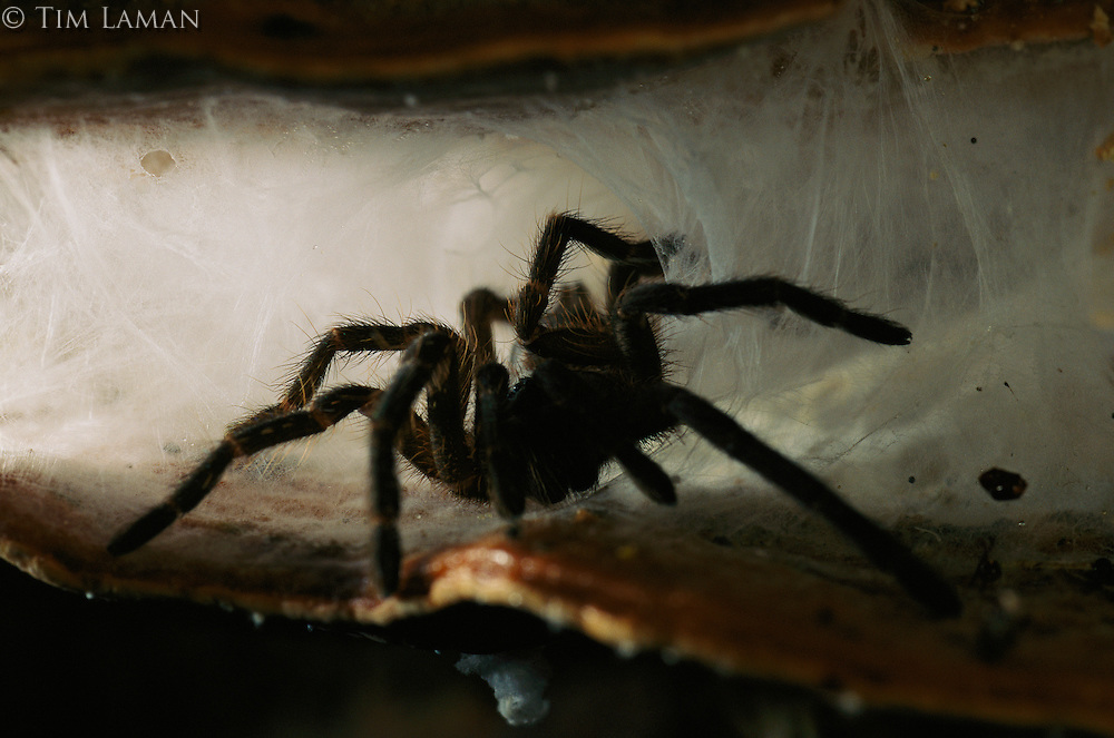 A large Tarantula emerges from a hiding place between two layers of a shelf fungi on a fallen tree in Danum Valley Conservation Area, Borneo Island.