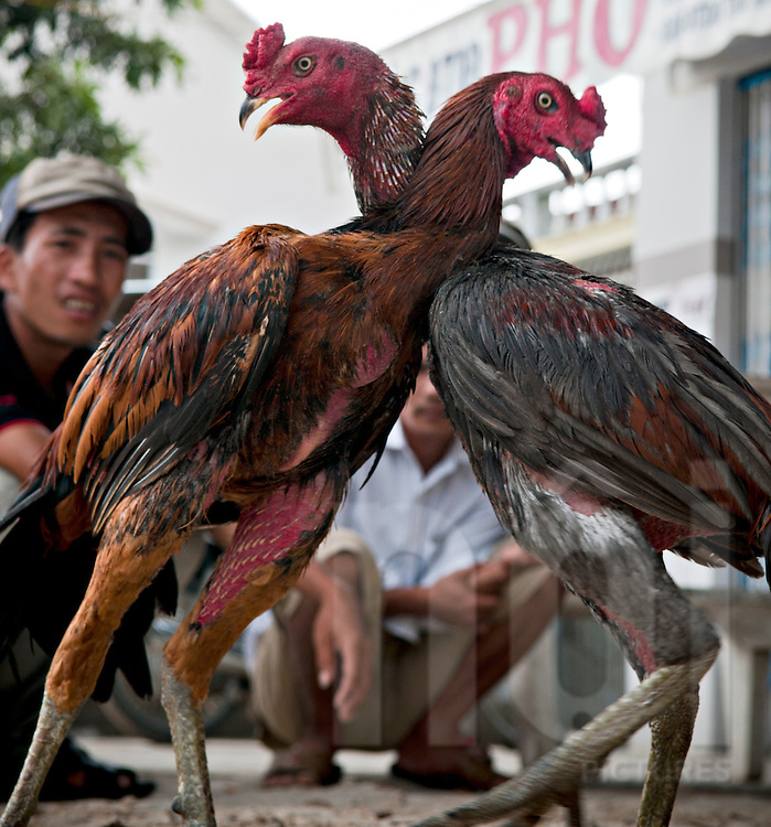 Two roosters are fighting. Doc Let, Vietnam, Asia. Two vietnamese men in background are focused on the confrontation
