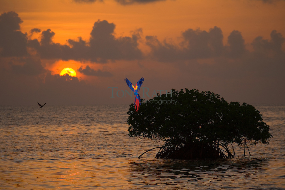 Small red mangrove island at sunrise, Hugh Parkey's Belize Adventure Lodge, Belize