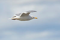 Herring Gull (Larus argentatus) in flight, Annapolis Royal tidal generating station, Annapolis Royal, Nova Scotia, Canada,