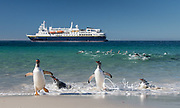 Gentoo penguins walk out of the ocean and onto the beach of New Island, in front of the National Geographic Explorer.