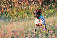 John Zeman's German shorthair Liza, wearing a GPS tracking collar, points a  Montana sharptailed grouse.