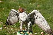 Lanner Falcon with hoodie.<br /> The lanner falcon (Falco biarmicus) is a medium-sized bird of prey that breeds in Africa, southeast Europe and just into Asia. It is mainly resident, but some birds <br /> disperse more widely after the breeding season.<br /> <br /> It is a large falcon, at 43&ndash;50 cm (17&ndash;20 in) length with a wingspan of 95&ndash;105 cm (37&ndash;41 in). European lanner falcons (Falco biarmicus feldeggi, also called Feldegg's falcon) have slate grey or brown-grey upperparts; most African subspecies are a paler blue grey above. The breast is streaked in northern birds, resembling greyish saker falcons, but the lanner has a reddish back to the head. Sexes are similar, but the browner young birds resemble saker falcons even more. However, sakers have a lighter top of the head and less clear head-side patterns. The lanner's call is a harsh &quot;wray-e&quot;.