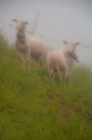 Mt. Rigi, Central Switzerland, Two sheep with bells around their necks standing in the mist on a steep hillside.