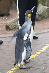 """Already a knight, the most famous king penguin in the world receives the new title of """"Brigadier Sir Nils Olav"""".(c) Brian Anderson 