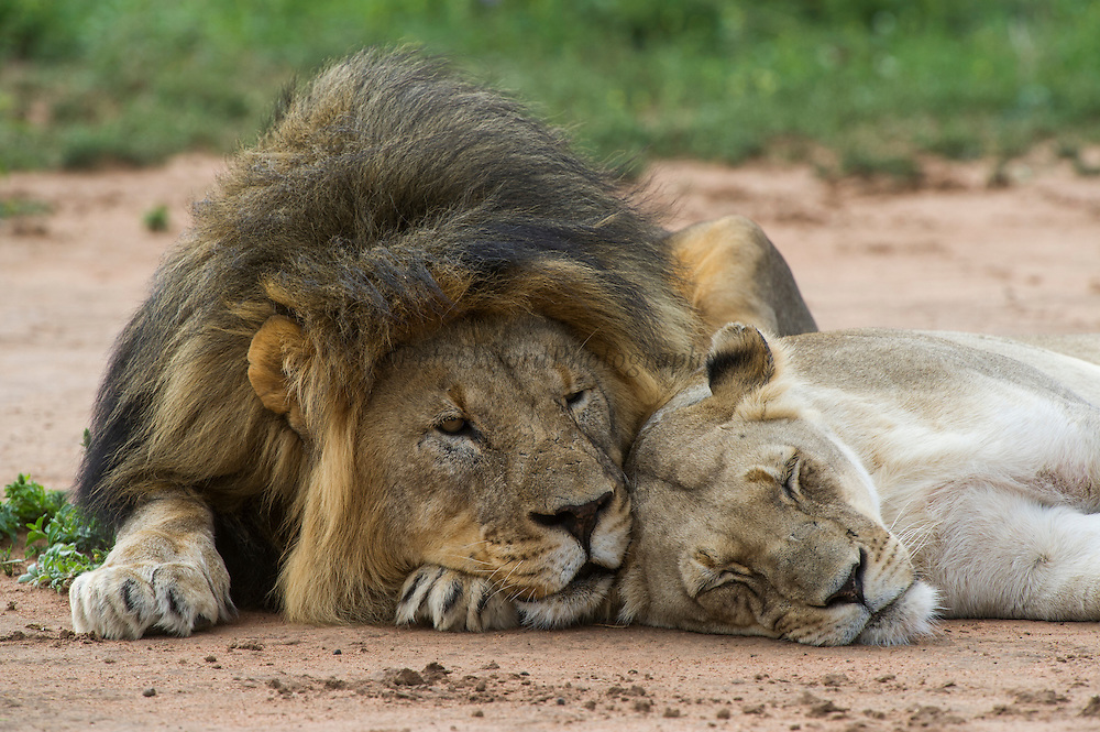 Lion & Lioness (Panthera leo)<br /> Marataba, a section of the Marakele National Park, Waterberg Biosphere Reserve<br /> Limpopo Province<br /> SOUTH AFRICA