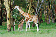 Kenya, Lake Nakuru National Park, Rothschild Giraffe a mother and young, Giraffa camelopardalis rothschildi, February 2007