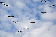 00748-05405 Canada geese (Branta canadensis) in flight, Riverlands Migratory Bird Sanctuary, MO