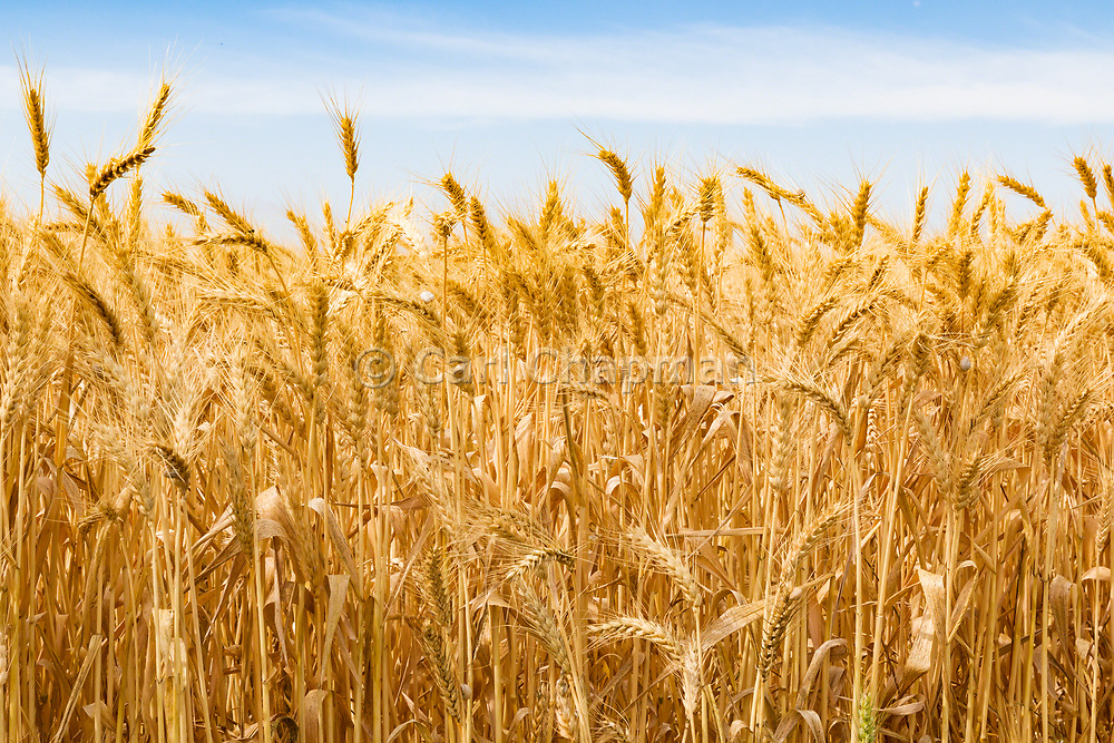 Heads of golden wheat before harvesting on a farm  in rural Murtoa, Victoria, Australia