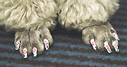 Nail art for dogs: the latest trend for pampered pooches is barking mad<br /> <br /> Your dog can already enjoy pampering session at doggie grooming parlours and sport its own designer outfit from luxe labels Mulberry and Burberry.<br /> But now there's a new fashion for the stylish canine.<br /> Hot on the paws of dip-dyes for dogs comes doggie nail art - the latest word in pedicures for pampered pooches.<br /> Doggie nail art is taking the US by storm and being applied in salons up and down the continent. <br /> The trend appears to be the next big thing for zany dog lovers such as to US Apprentice star Aubrey O'Day who recently gave her own dogs a pastel-coloured dip-dye make-over.<br /> <br /> Warren London, the website of an American doggie-product wholesalers which sells special Pawdicure Polish Pens for either salon or at-home use, proves that there are no limits to the lengths owners will go to beautify their dogs.<br /> It even features a blog where proud owners upload shots of their own efforts practised on long-suffering pooches. <br /> The tongue-in-cheek names of the colours certainly give our own Nails inc. a run for its money with hues amusingly titled Paw-ty In Pink, Smooch The Pooch Purple, Orange You Glad I'm Neon and Walk In The Park Green.<br /> <br /> For fidgety customers, the varnishes are quick drying and are ready for walkies in only 40 seconds.<br /> The makers boast that, 'only one layer application is necessary for that great look for your pampered pup.'<br /> Fortunately for Fido and co though, said pens are water based and non toxic.<br /> The site also features an online tutorial to ensure that users get the best our of their Pawdicure Polish Pens.<br /> It would seem that celebrity nail art fans such as Katy Perry have got a lot to answer for. <br /> However, whether the trend translates to the British market remains to be seen.<br /> ©WarrenLondon/Exclusivepix