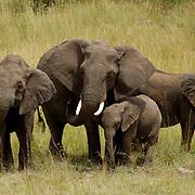 African Elephant ( Loxodanta africana)  Family, mother with young.Masai Mara National Park. Kenya. Africa.