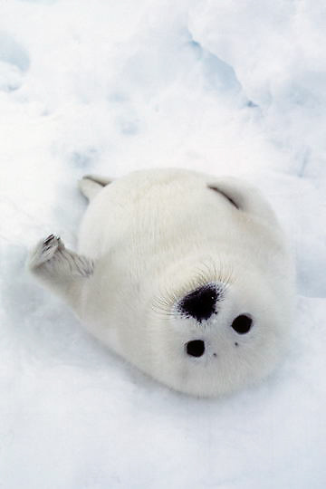 Harp Seal, (Pagophilus groenlandicus) Pup in favorite position on its back on ice pack. Spring. Nova Scotia. Canada.