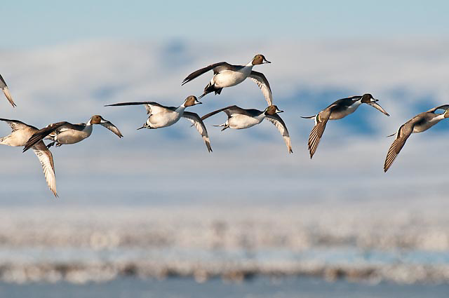 full frame groups of pintail ducks fying into the camera