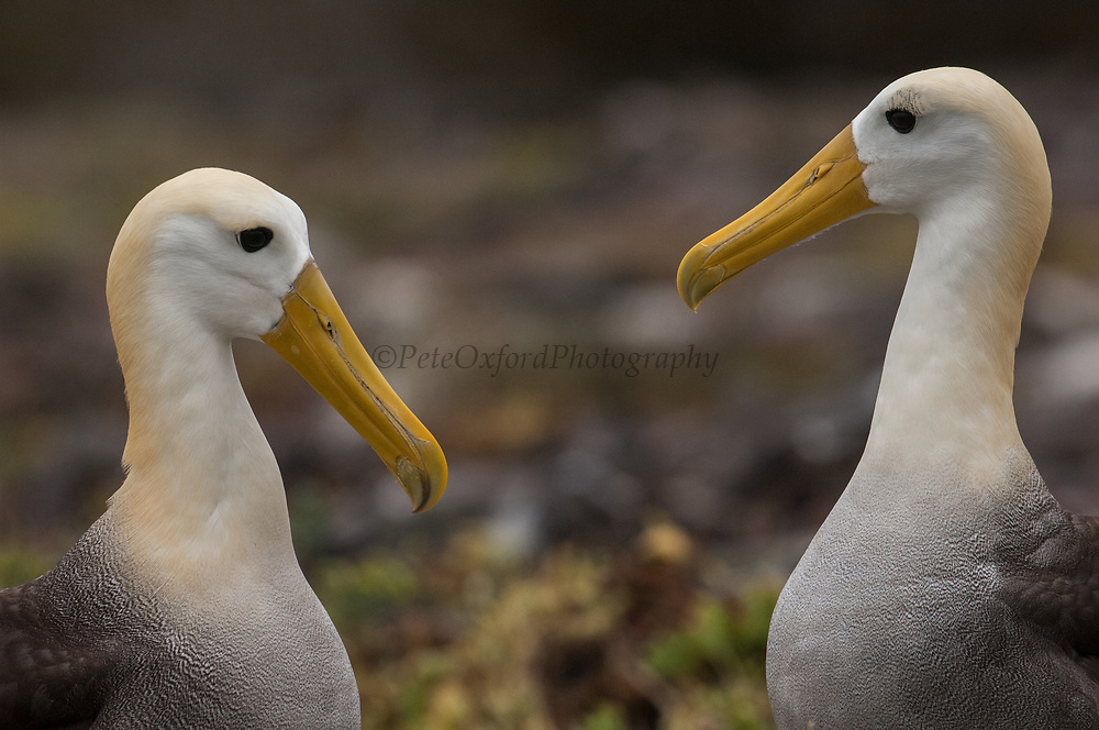 Waved albatross (Phoebastria irrorata) courtship<br /> Española or Hood Island<br /> Galapagos Islands<br /> ECUADOR.  South America<br /> ENDEMIC TO GALAPAGOS. However a few pairs nest on Isla de la Plata near the Ecuadorian mainland. +-12,000 pairs breed on the Island of Española in Galapagos. They only come ashore between April and December to breed, otherwise they spend their entire life at sea. Once an albatross chick fledges and goes to sea it will remain there until it is 4 years old before returning to land to breed for the first time. Albatross mate fore life and live about 40 years. They form part of the family of tube-nosed birds.<br /> <br /> [#Beginning of Shooting Data Section]<br /> Nikon D2X<br /> Focal Length: 420mm<br /> Optimize Image: <br /> Color Mode: Mode II (Adobe RGB)<br /> Long Exposure NR: Off<br /> High ISO NR: On (Normal)<br /> 2007/07/27 09:29:56.8<br /> Exposure Mode: Aperture Priority<br /> White Balance: Cloudy<br /> Tone Comp.: Normal<br /> RAW (12-bit)<br /> Metering Mode: Multi-Pattern<br /> AF Mode: AF-C<br /> Hue Adjustment: 0°<br /> Image Size: Large (4288 x 2848)<br /> 1/1000 sec - F/4<br /> Flash Sync Mode: Not Attached<br /> Saturation: Normal<br /> Color<br /> Exposure Comp.: -1.7 EV<br /> Sharpening: None<br /> Lens: 300mm F/2.8 D<br /> Sensitivity: ISO 400<br /> Auto Flash Comp: 0 EV<br /> Image Comment:                                     <br /> [#End of Shooting Data Section]