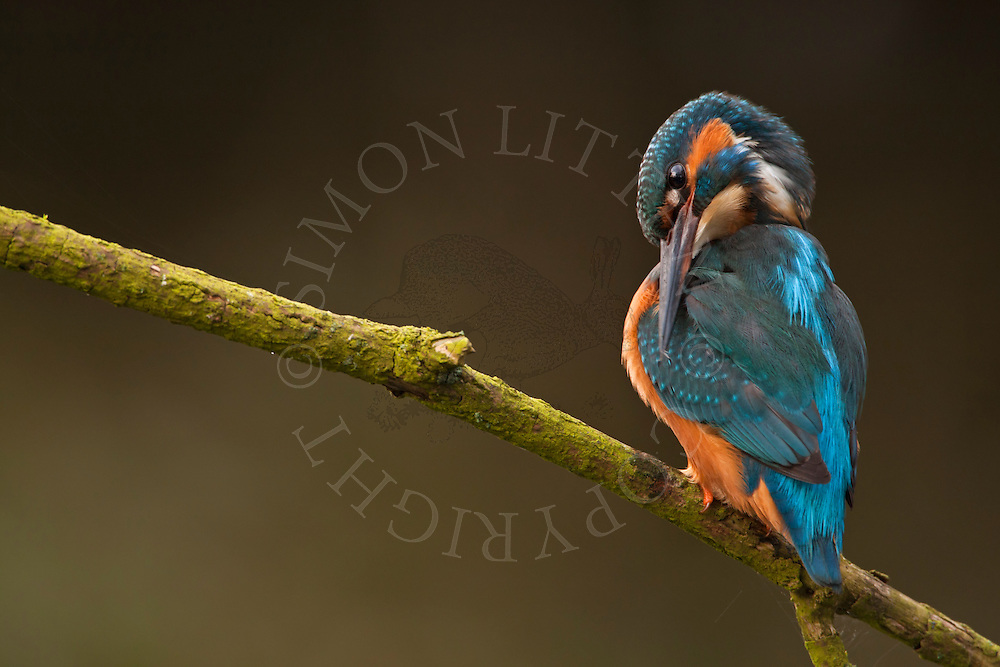 Kingfisher (Alcedo atthis) adult perched on branch overhanging river, preening, Norfolk Broads N.P., UK.