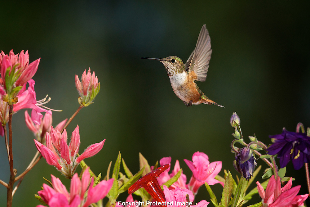 Rufous Hummingbird (Selasphorus rufus),  Courtenay,  Comox Valley,  British Columbia,  Canada,  (Photographer;  Isobel Springett),