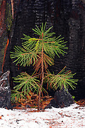 Pine seedling and burned trunk in winter, Yosemite National Park, California USA
