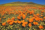 California Poppies,  Eschscholzia californica, Antelope Valley California Poppy Reserve, Lancaster, CA