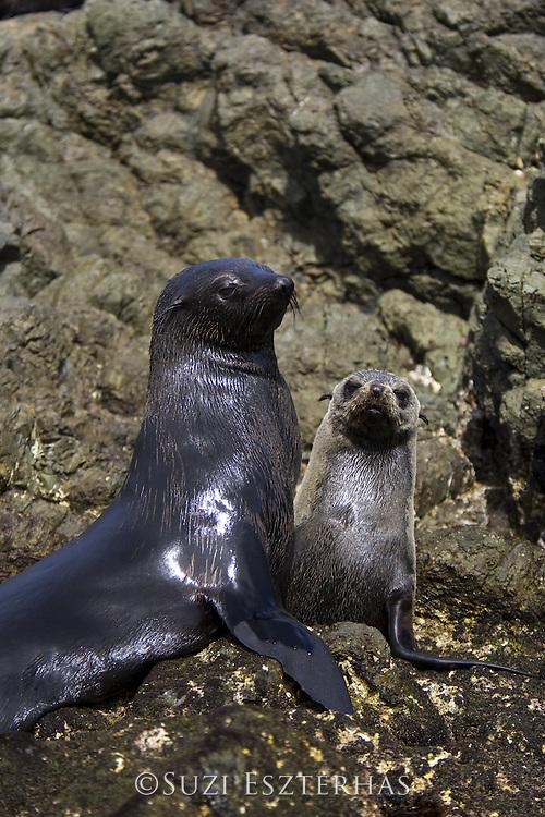 Guadalupe Fur Seal<br /> Arctocephalus townsendi<br /> Isla San Benito, Baja California, Mexico