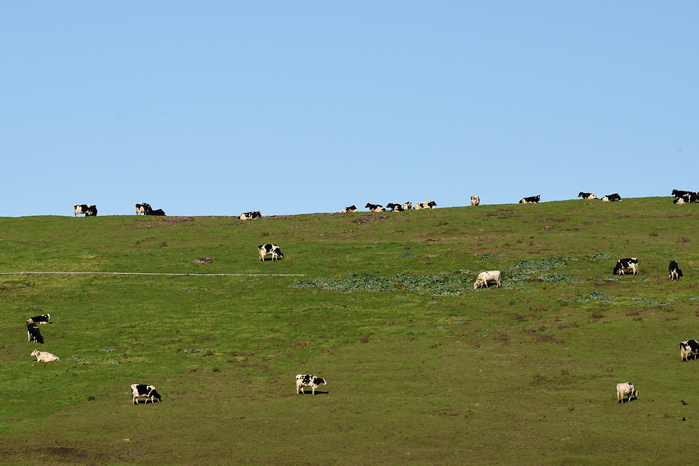 Cows in  a meadow in Point Reyes National Seashore, located in Marin County, California, United States on November17'th, 2017. Photo by Gili Yaari