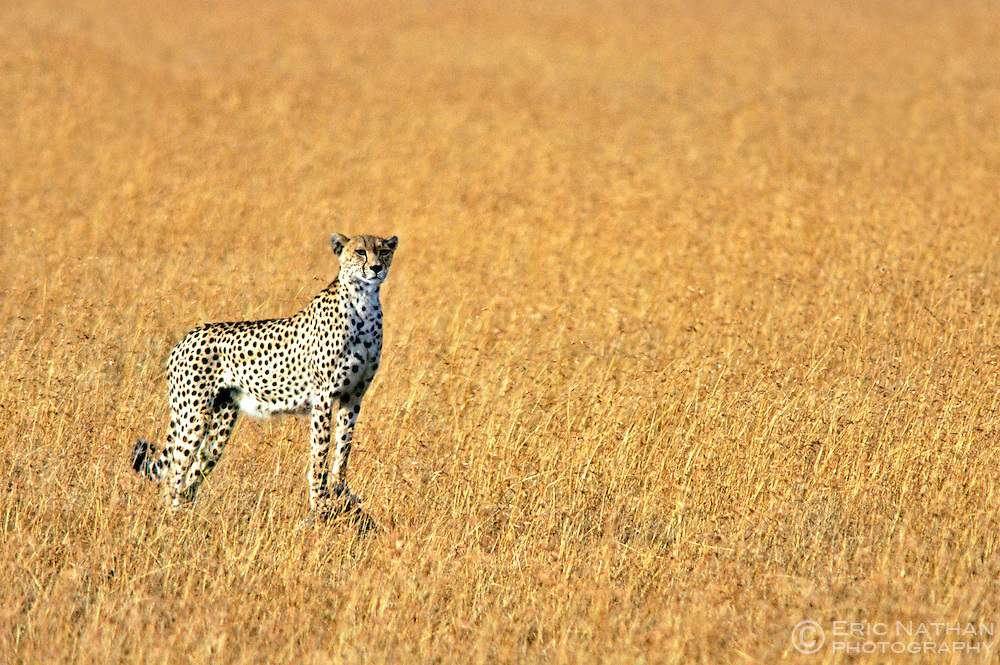 A female cheetah (Acinonyx Jubatus) in the Masai Mara game reserve in Kenya.