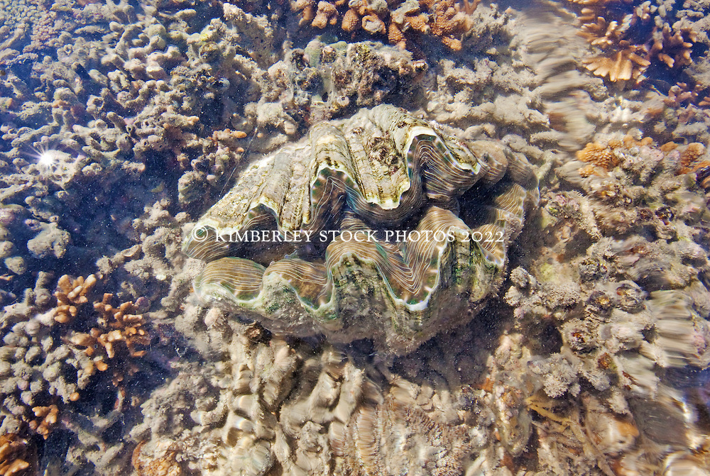 A giant clam on Montgomery Reef.