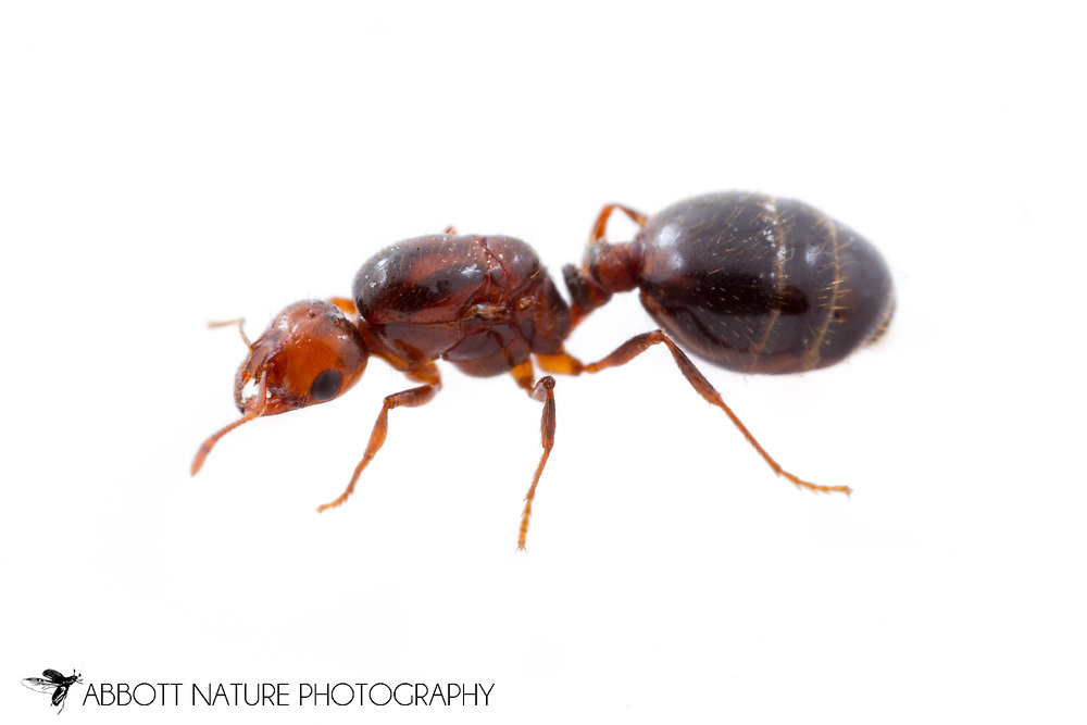 Red Imported Fire Ant (Solenopsis invicta) - queen<br /> TEXAS: Travis Co.<br /> Brackenridge Field Laboratory; Austin<br /> 30-April-2013<br /> J.C. Abbott &amp; K.K. Abbott