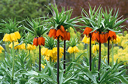 Fritillaria imperialis at Beth Chatto's garden<br /> Crown imperials
