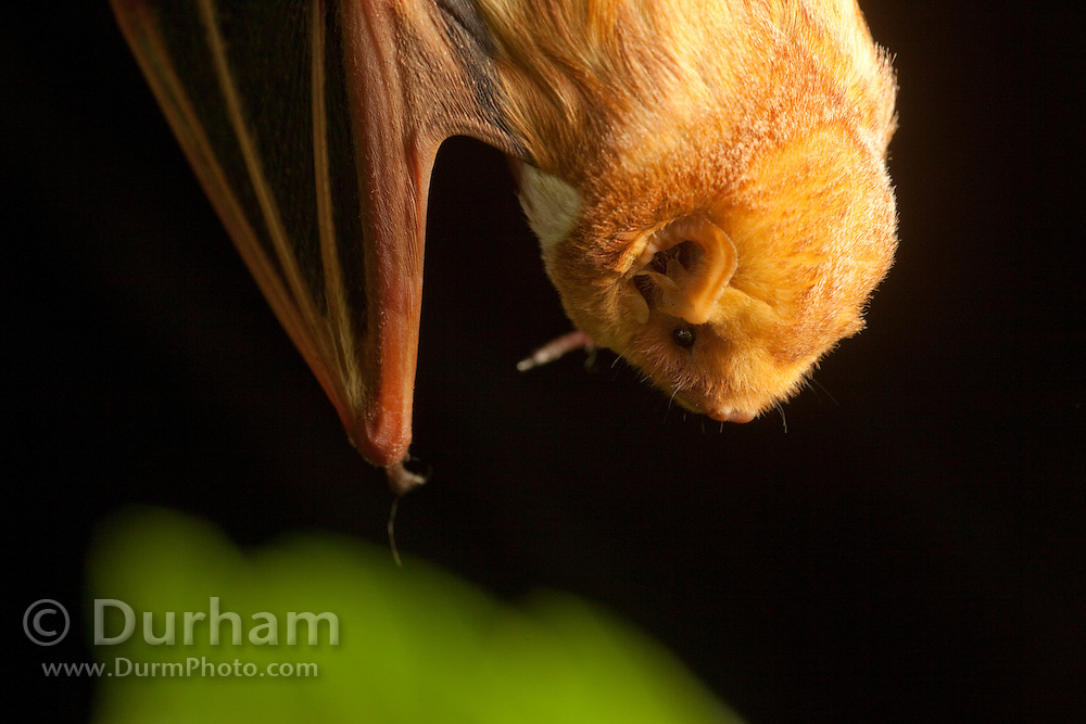Male eastern red bat (Lasiurus borealis), Photographed near the Conasauga River in the Chattahoochee-Oconee Natonal Forest, Georgia.