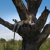 Leopards - Ninjas of The Bush
