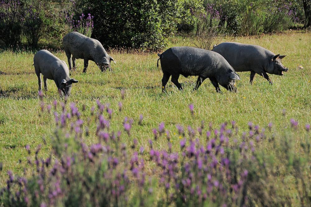 Iberian pigs, Porco Iberico, in the Dehesa forest<br /> Campanarios de Az&aacute;ba reserve, to the right Di&eacute;go Benito Pe&ntilde;il,  Salamanca Region, Castilla y Le&oacute;n, Spain