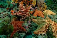 Los corales marinos son animales coloniales, salvo excepciones,nota 1 pertenecientes al filo Cnidaria, clase Anthozoa. Las colonias est&aacute;n formadas por hasta miles de individuos zooides y pueden alcanzar grandes dimensiones.<br /> <br /> Aunque los corales pueden atrapar plancton y peque&ntilde;os peces con las c&eacute;lulas urticantes en sus tent&aacute;culos, la mayor&iacute;a de los corales obtienen la mayor parte de sus nutrientes de las algas unicelulares fotosint&eacute;ticas denominadas zooxantela, que viven dentro del tejido del coral. Estos corales requieren de luz solar y crecen en agua clara y poco profunda, normalmente a profundidades menores de 60 metros. Los corales pueden ser los principales contribuyentes a la estructura f&iacute;sica de los arrecifes de coral que se formaron en aguas tropicales y subtropicales<br /> <br /> &copy;Alejandro Balaguer/Fundaci&oacute;n Albatros Media.