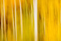 Autumn aspen abstract; Colorado