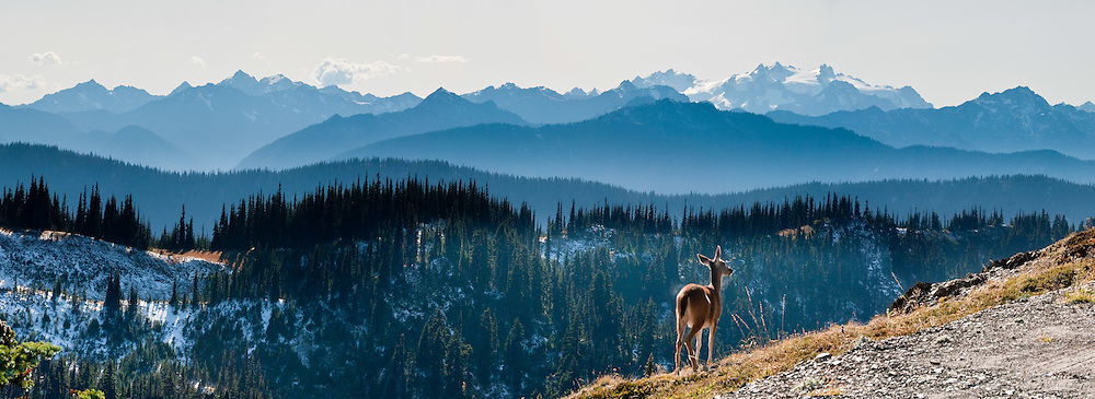 A deer and Mount Olympus (7980 feet / 2432 meters) are seen along Obstruction Point Road, Hurricane Ridge, Olympic National Park, Jefferson County, Washington, USA. Panorama stitched from 5 images.