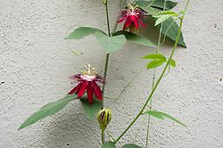 Red passiflora