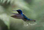 A White-necked jacobin hummingbird in flight in the cloud forest.
