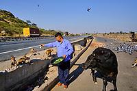 Inde, Rajasthan, homme offrant de la nouriturre aux singes et vache sur la route entre Delhi et Jaipur // India, Rajasthan, man offering food to monkeys and cow on the road between Delhi and Jaipur