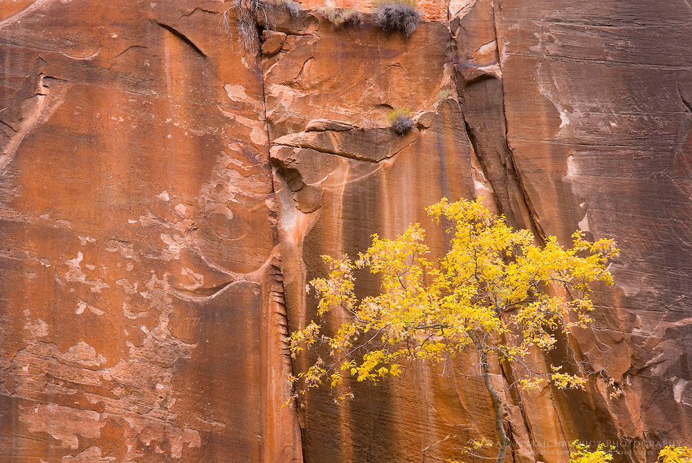 Tree displaying fall foliage along the sandstone cliffs of the Zion canyon narrows, Zion National park Utah USA