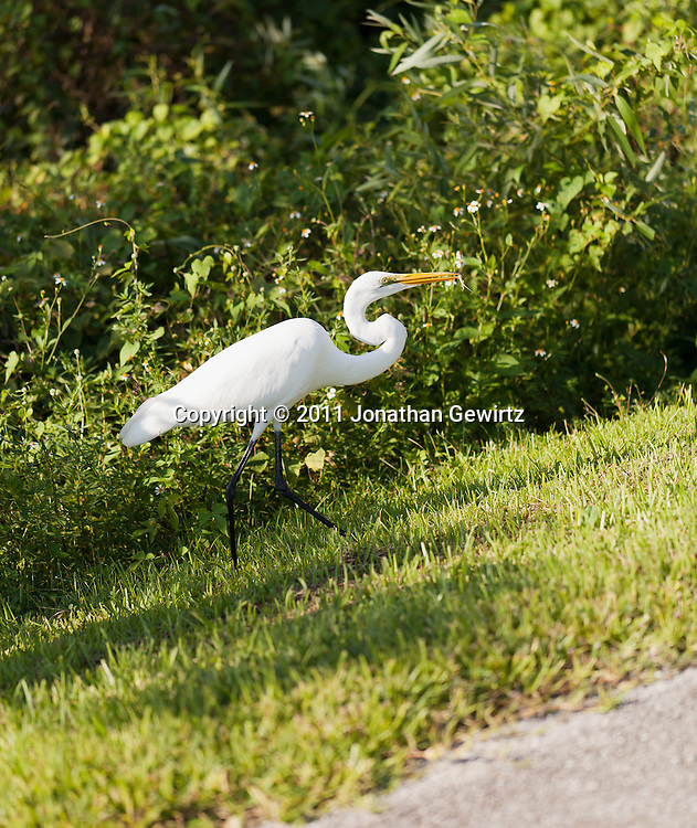 A Great Egret (Casmerodius albus) eating a small lizard in Everglades National Park. WATERMARKS WILL NOT APPEAR ON PRINTS OR LICENSED IMAGES.